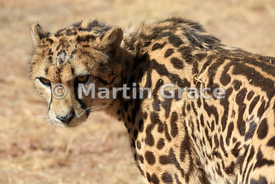 A rare King Cheetah (Acinonyx jubatus), De Wildt Cheetah Centre, Republic of South Africa