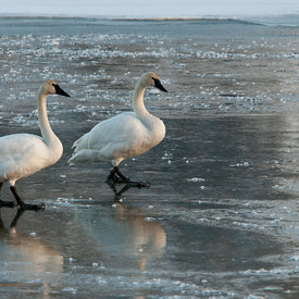 Swans wildlife photos