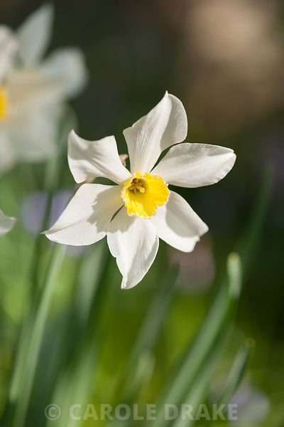Narcissus 'Seagull', dating from 1893. Cotehele, Cornwall, UK
