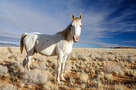 A single white horse (stallion)  standing on a sparsly vegetated plain in the desert