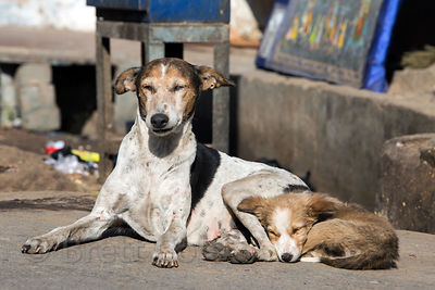 Street dogs in Pushkar, Rajasthan, India