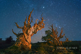 Great Basin bristlecone pine (pinus longaeva) and star sky in the White Mountains - North America, USA, California, Inyo, Whi...