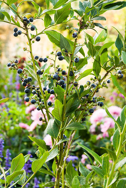 Fruiting blueberries. Haddon Lake House, St Lawrence, Isle of Wight, UK