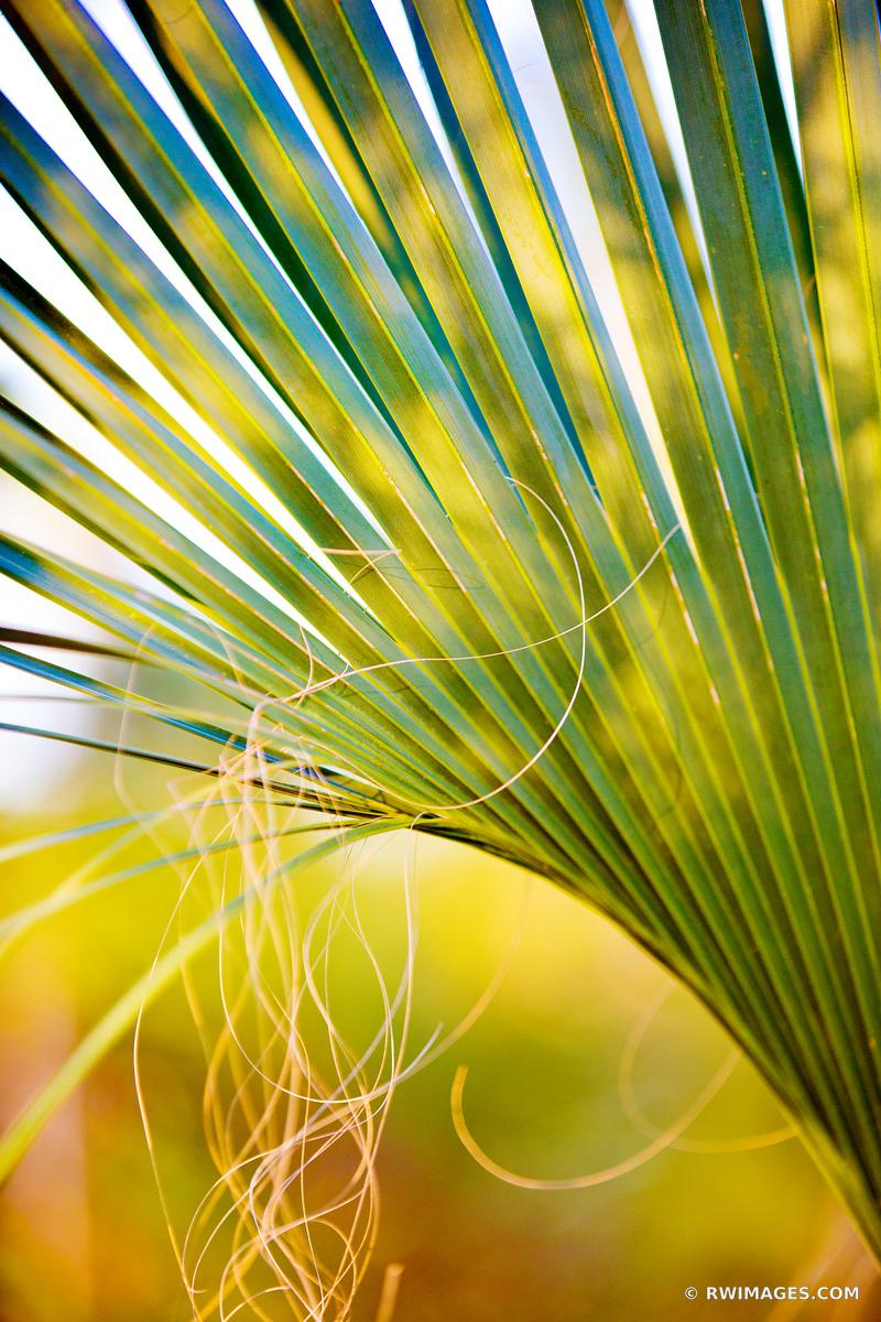 SABAL PALMETTO LEAF EVERGLADES FLORIDA