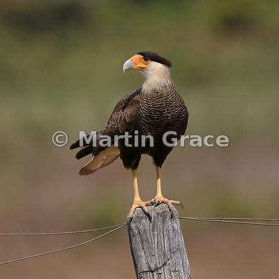 Southern Crested Caracara (Caracara plancus) standing on a fence post, North Pantanal, Mato Grosso, Brazil