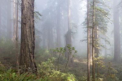 Morning fog in redwood forest, Del Norte Coast Redwoods State Park, California
