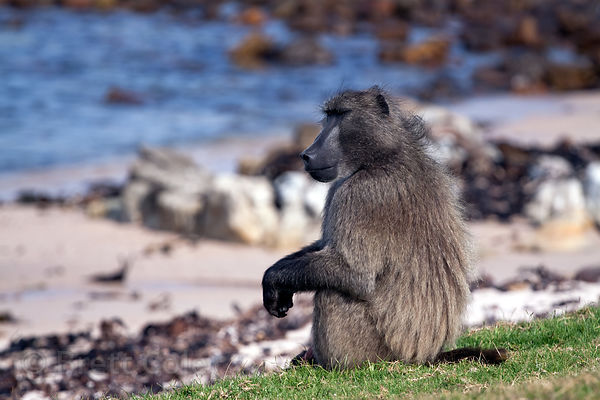 The alpha male baboon of the Buffels Bay troop rests with a juvenile baboon on the beach at Buffels Bay, Cape Peninsula, Sout...