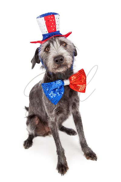 Red White and Blue Terrier Dog