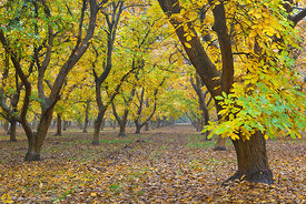Walnut Orchards in Fall #7