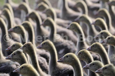 FRANCE, DORDOGNE, TROUPEAU OIES//FRANCE, DORDOGNE, FLOCK OF GOOSES