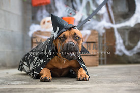 Bull breed dog dressed up as witch for halloween