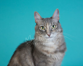 Close-up studio portrait of grey cat with green eyes