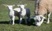 Texel ewe with lambs in a pasture, North Yorkshire, UK.