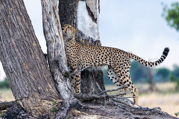Cheetah Detecting a Scent on a Dead Tree