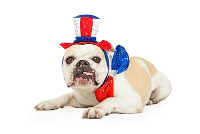 Independence Day Bulldog With Tongue Hanging Out