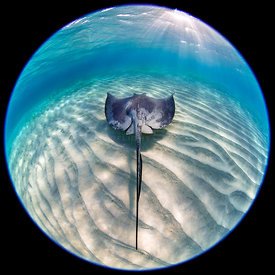 Southern stingray (Dasyatis americana) swimming over sand ripples. Circular fisheye shot. Sandbar in Stingray City, Grand Ca...
