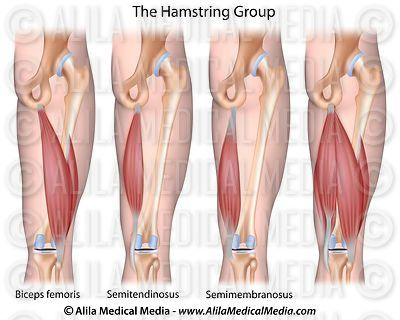 The hamstrings group diagram.