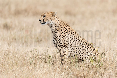 Cheetah Sitting in Dried Grass