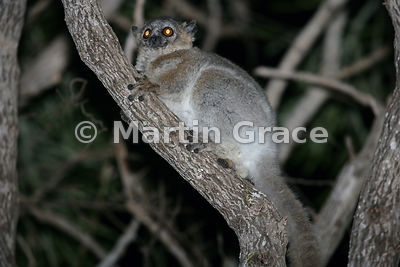 The nocturnal White-Footed Sportive Lemur (Lepilemur leucopus) (also known as White-Footed Weasel Lemur or Dry-Bush Weasel Le...