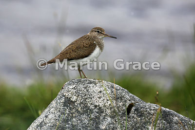 Common Sandpiper (Actitis hypoleucos),  Lochindorb, Inverness-shire, Scotland: Image 1 of 3 - side view