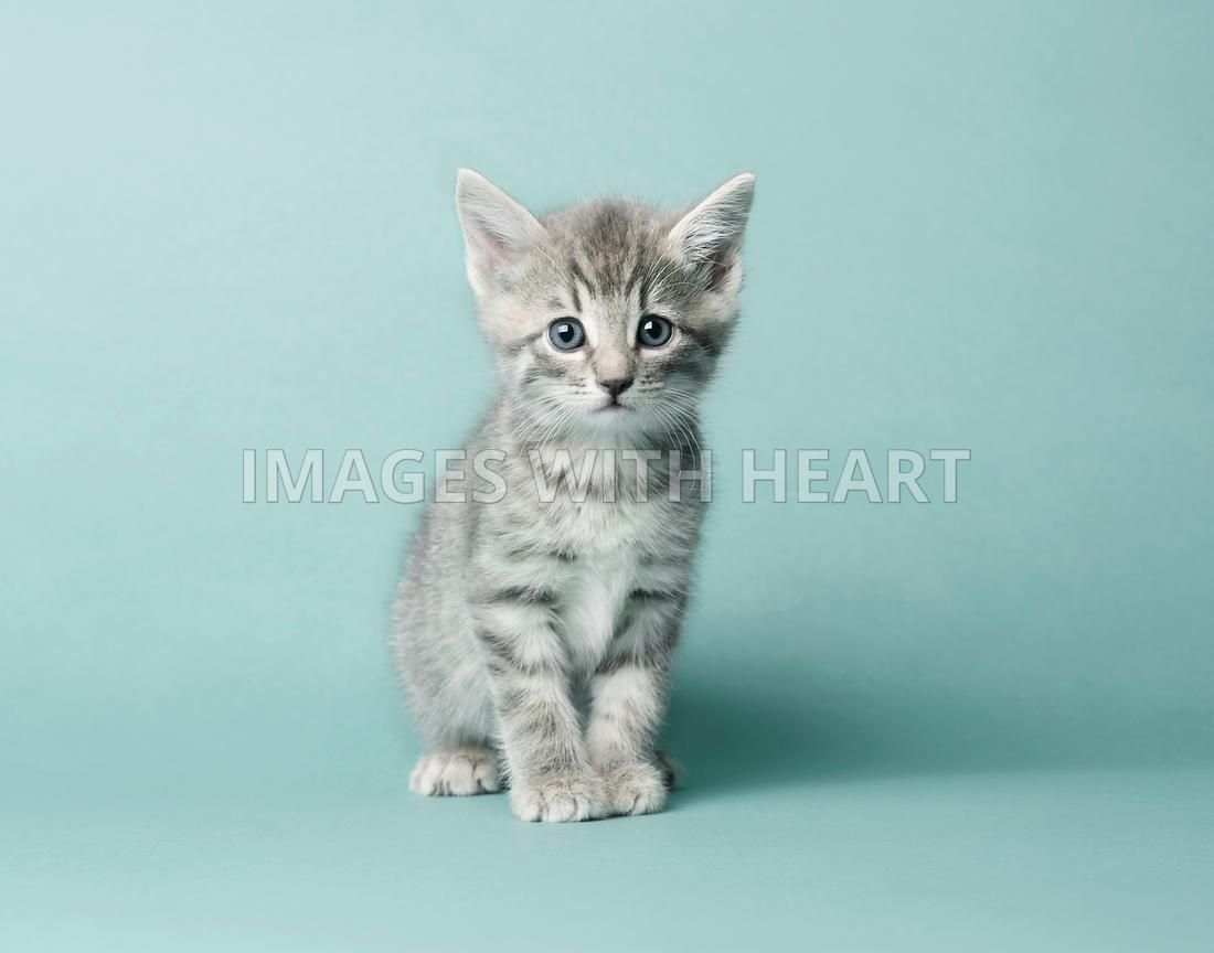 Tabby kitten on teal background