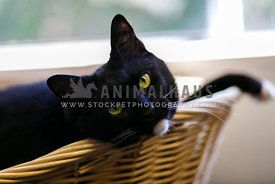 black cat with white chin sitting in basket gazing forward