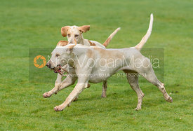 Foxhounds playing at the meet - The Cottesmore Hunt at Little Dalby 7/2