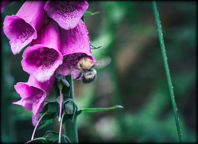 Bee_in_foxglove_-_Wicklow_Mountains_23062016_FB