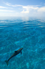 Bottlenose dolphins (Tursiops truncatus) in shallow water over a sand bank. Sandy Ridge, Little Bahama Bank, Bahamas. Tropica...