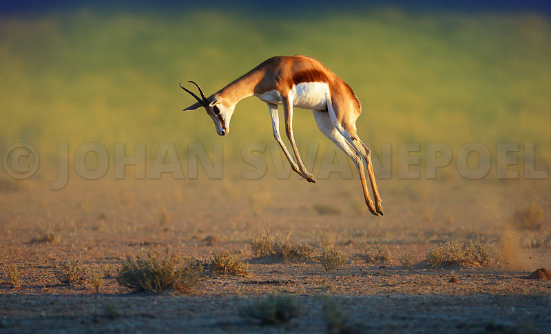 Springbok leaping high in the air (stotting)