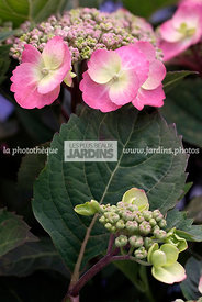 Hydrangea serrata Flair & Flavours Cotton Candy (hortensia), Mountain hydrangea, Tea of haeven, Arbuste rustique, Port arrond...
