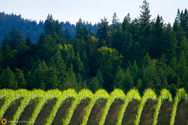Goldeneye Vineyards #4