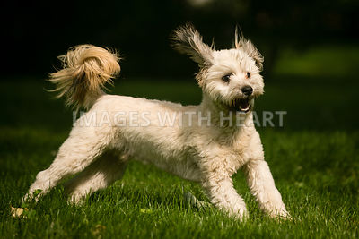 Small white shaggy dog playing on green grass.jpg
