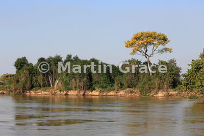 Spectacular yellow blossom of Vochysia divergens tree with other riverside trees, River Cuiabá, Northern Pantanal, Mato Gross...