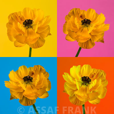 Ranunculus flower collage on colored background