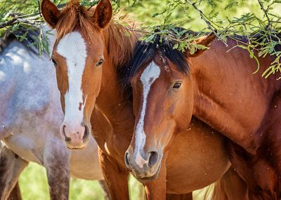 Closeup of Two Wild Horses