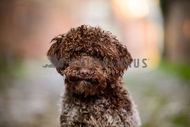 Lagotto Romagnolo looking at viewer