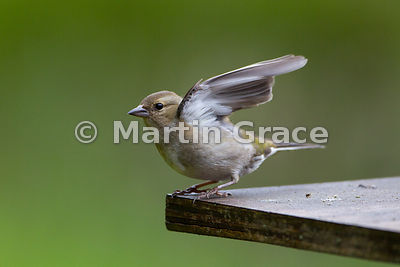Female Common Chaffinch (Fringilla coelebs), just about to fly, Badenoch & Strathspey, Scottish Highlands