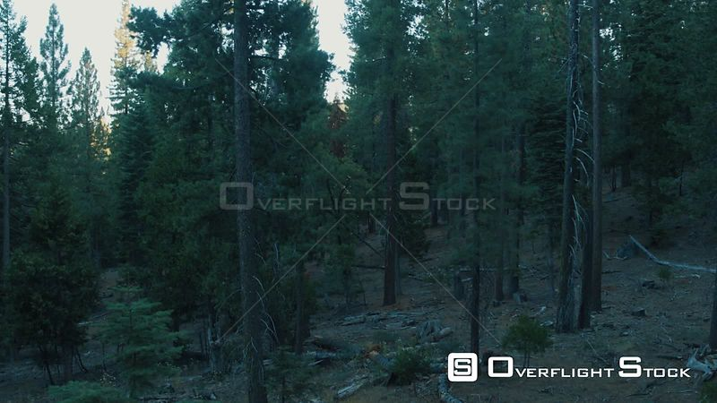 Slow Flight through a Pine Forest Sierra Nevadas California