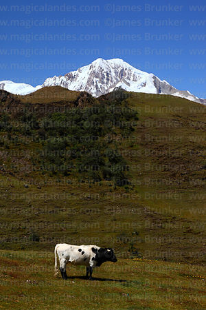 Cattle grazing in high altitude meadow, Mt Illampu in background, Cordillera Real, Bolivia