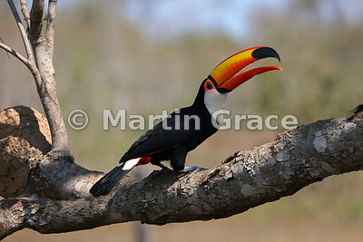 Toco Toucan (Common Toucan, Giant Toucan) (Ramphastos toco) showing its long, thin, feathery tongue, Pantanal North, Brazil