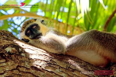 Green monkey sleeping on tree