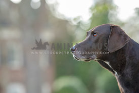 close up of large dark brown lab/hound mix looking away