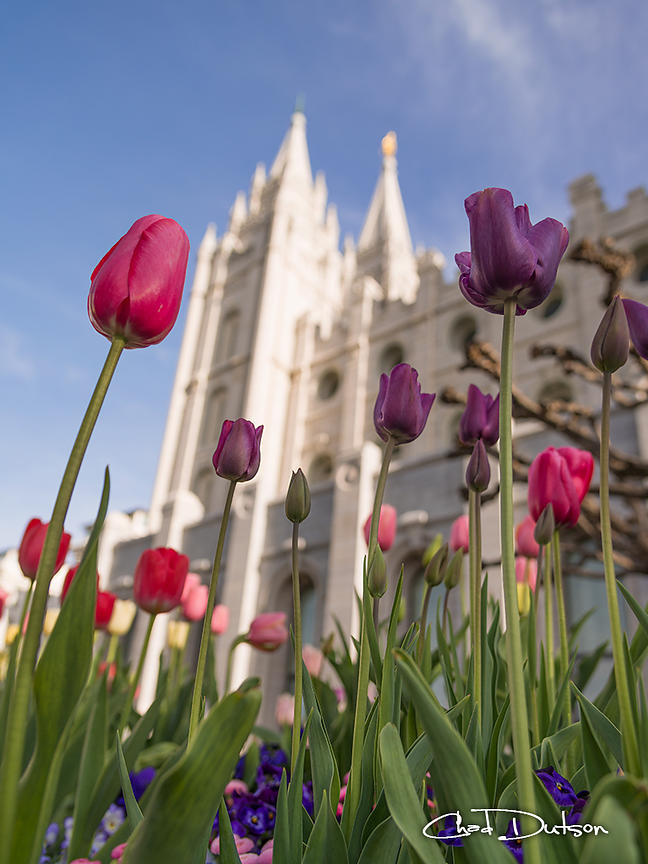 Temple Tulips