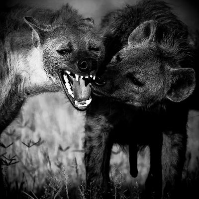 9711-Two_hyenas_Kenya_2006_Laurent_Baheux