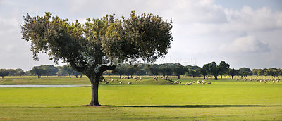 Holm oaks in Alentejo, Portugal