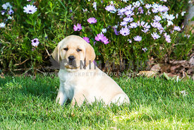 yellow Labrador Retriever puppy on lawn with flowers behind