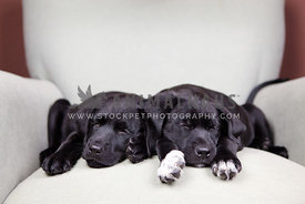 two black puppies asleep on chair