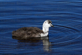 Young Giant coot chick (Fulica gigantea)