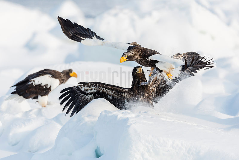 Steller's Eagles Squabbling over a Fish